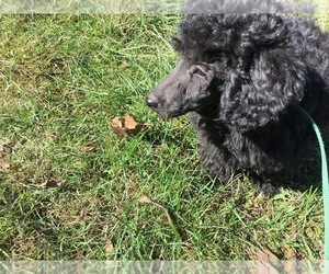 Poodle (Miniature) Puppy for Sale in AVA, Missouri USA