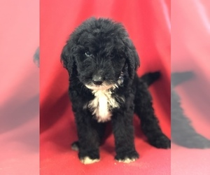 Sheepadoodle Puppy for Sale in WAVERLY, Iowa USA