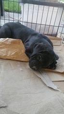 Cane Corso Puppy For Sale in LAKE ELSINORE, CA, USA