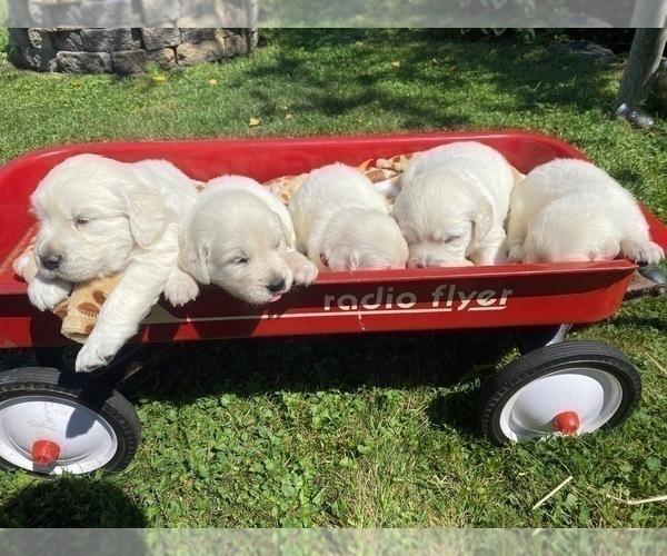 Medium Photo #16 English Cream Golden Retriever Puppy For Sale in ARCHBALD, PA, USA