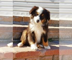Miniature Australian Shepherd Puppy for sale in CHATTANOOGA, OK, USA