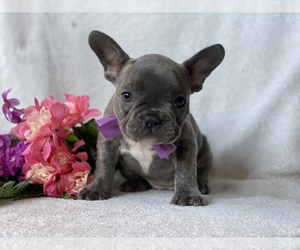 French Bulldog Puppy for Sale in CEDAR LANE, Pennsylvania USA