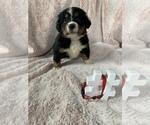 Puppy 2 Bordernese