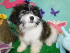 Shih Tzu Puppy For Sale in HAMMOND, IN, USA