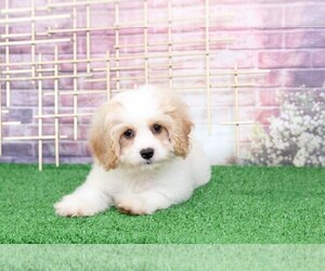 Cavapoo Dog for Adoption in BEL AIR, Maryland USA