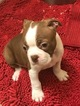 Boston Terrier Puppy For Sale in SISTERS, OR, USA