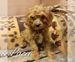 Puppy 4 Cavapoo