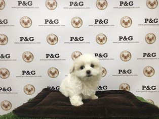 Maltese Puppy For Sale in TEMPLE CITY, CA