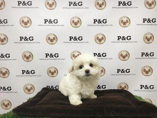 Maltese Puppy For Sale in TEMPLE CITY, CA, USA