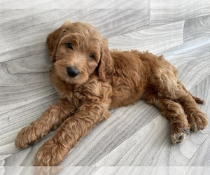 Double Doodle Puppy for Sale in DURHAM, North Carolina USA