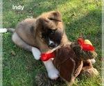 Puppy 10 Akita