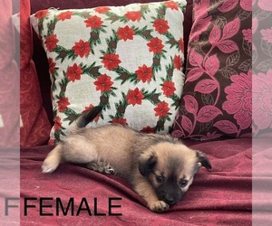 Chiranian-Pomeranian Mix Puppy for Sale in SAN JOSE, California USA