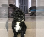 Puppy 2 Portuguese Water Dog