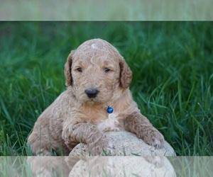 Shih Tzu Puppy for sale in NAMPA, ID, USA