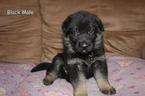 German Shepherd Dog Puppy For Sale in SOMERVILLE, Tennessee,