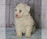 Small #1 Poodle (Miniature)-Sheepadoodle Mix