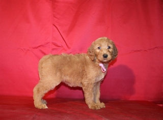 Goldendoodle Puppy For Sale in ELLIJAY, GA, USA