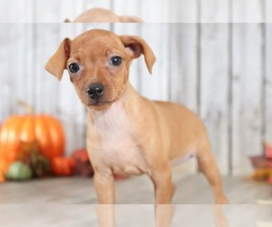 Miniature Pinscher Dog for Adoption in MOUNT VERNON, Ohio USA