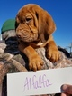 Bloodhound Puppy For Sale in VERSAILLES, MO, USA