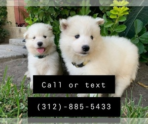 Samoyed Puppy for sale in SAN BERNARDINO, CA, USA
