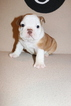 Bulldog Puppy For Sale in FAYETTEVILLE, AR, USA
