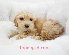 Cock-A-Poo Puppy for sale in LA MIRADA, CA, USA