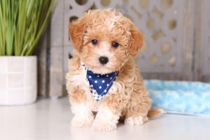 Poodle (Toy)-Yorkshire Terrier Mix Puppy For Sale in MOUNT VERNON, OH, USA