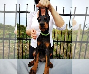 Doberman Pinscher Puppy for sale in KATY, TX, USA