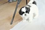 Maltese Puppy For Sale in FALL RIVER, MA, USA