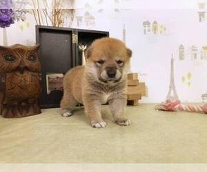 Shiba Inu Puppy for sale in CUPERTINO, CA, USA