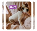 Small Photo #2 Jack Russell Terrier Puppy For Sale in MANSFIELD, TX, USA