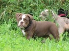 Olde English Bulldogge Puppy For Sale in WADSWORTH, Ohio,