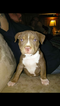American Pit Bull Terrier Puppy For Sale in ZEBULON, GA, USA