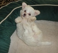 1 Cute Female Maltese Puppies for Sale