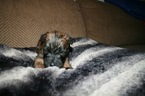 Soft Coated Wheaten Terrier Puppy Godiva