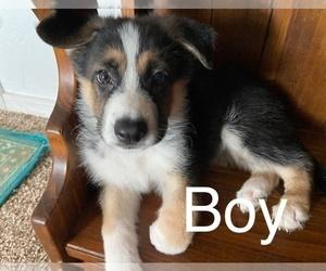 German Shepherd Dog Puppy for Sale in TUCSON, Arizona USA