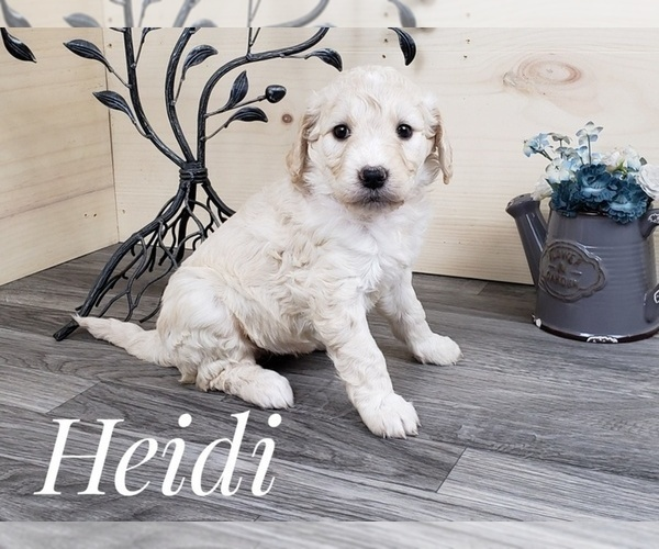 Full screen Photo #1 Goldendoodle Puppy For Sale in CEDAR GAP, MO, USA