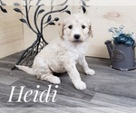 Small Photo #1 Goldendoodle Puppy For Sale in CEDAR GAP, MO, USA