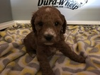 Cockapoo Puppy For Sale in RAINSVILLE, AL