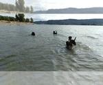 Small #42 Labrador Retriever