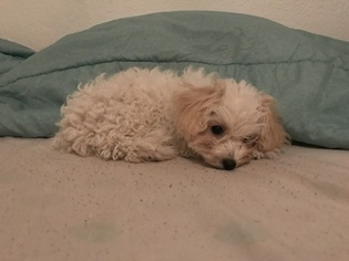 View Ad: Poodle (Toy) Puppy for Sale near Texas, HOUSTON