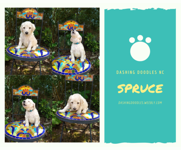 View Ad Goldendoodle Puppy For Sale Near North Carolina