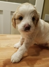 Australian Labradoodle Puppy For Sale in PLAINFIELD, NJ, USA