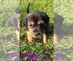 Puppy 3 Beagle-Unknown Mix