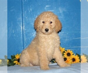 Goldendoodle-Poodle (Standard) Mix Dog for Adoption in NEW PROVIDENCE, Pennsylvania USA