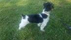 Yorkshire Terrier Puppy For Sale in RIDGEWAY, SC