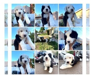 Old English Sheepdog Puppy for sale in ROSEMEAD, CA, USA
