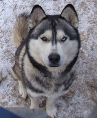 Siberian Husky Puppy For Sale in HOT SPRINGS, NC, USA