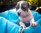 Blue UKC Registered male Pit Bull puppy