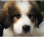 Puppy 3 Great Bernese